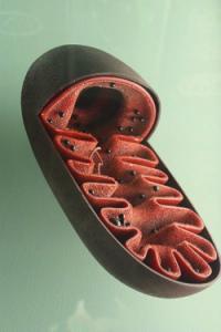 mitochondrien-200x300